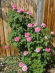 Yolande de Aragon Rose bush, Rosa hybrid, two years old