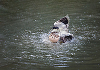 Common Eider, Male flapping in water