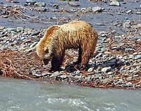 Brown bear digging in gravel bar