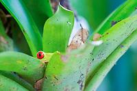 red-eyed treefrog, Agalychnis callidryas, peeking from inside bromelia, Bromelia sp., in rainforest, Costa Rica