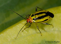 "0625-0801  Four-lined Plant Bug ""Herb, Flower, and Crop Pest"" - Poecilocapsus lineatus - © David Kuhn/Dwight Kuhn Photography"