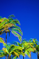 Close-up of stately coconut palms treetops with green and gold fronds set against a brilliant blue sky.