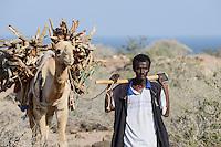 DJIBOUTI Tadjourah, Afar shepherd with camel transporting firewood / DSCHIBUTI Tadjourah, Afar Hirte mit Kamel transportiert Feuerholz