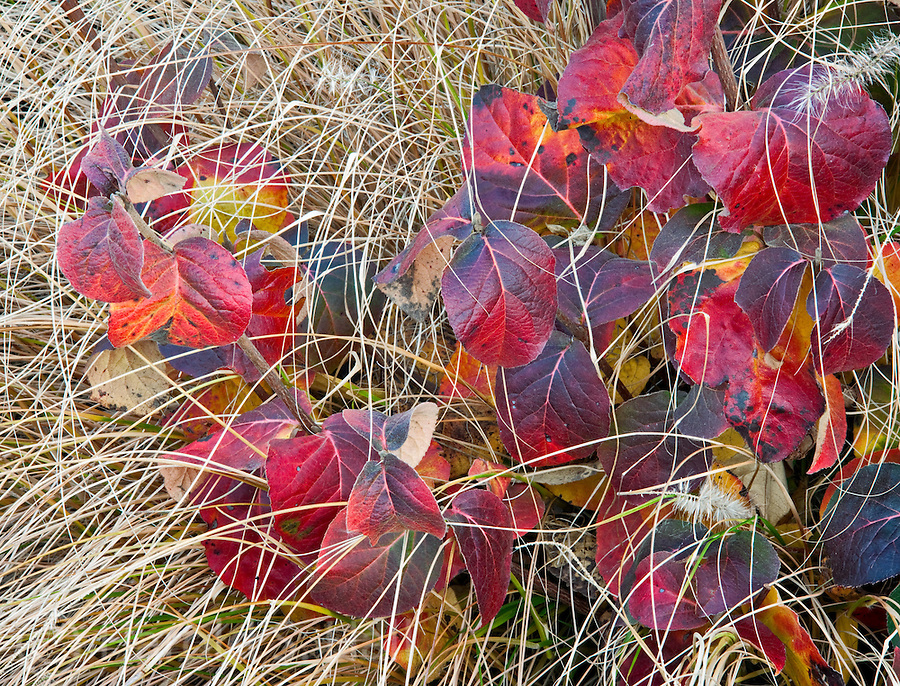 Leaves of the plants turn all colors of the rainbow in the fall.