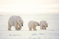 polar bear, Ursus maritimus, mother with cubs walking on the pack ice of the frozen coastal plain, 1002 area of the Arctic National Wildlife Refuge, Alaska, polar bear, Ursus maritimus