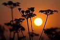 Hogweed {Heracleum sphondylium} flowerheads silhouetted at sunset, Pembrokeshire, June 2010.