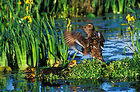 Mallard duck (Anas platyrhynchos) family--hen with young ducklings.  Hen is drying her wings.  Yellow iris in pond.  Pacific NW.  June.