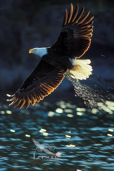 Bald eagle (Haliaeetus leucocephalus) fishing.  Pacific Northwest.