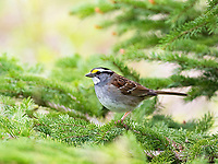 white-throated sparrow, Zonotrichia albicollis, male, perched on a spruce tree in spring, Nova Scotia, Canada