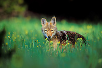Wild coyote (Canis latrans) stares at camera while surrounded  by wildflowers.  Western U.S.,  June.