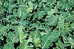 Kale farm, San Luis Obispo, California