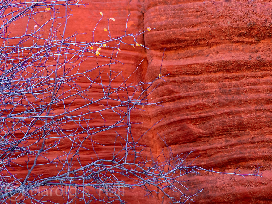 The last remnants of fall cling to branches against the backdrop of a red cliff in Zion National Park.