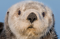 Adult Alaskan or Northern Sea Otter (Enhydra lutris).  Alaska.