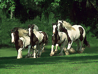 #257   Gypsy Vanner Horse Mares and foals gallop toward us .© Mark J. Barrett 200.#257   Gypsy Vanner Horse Mares and foals gallop toward us .¬© Mark J. Barrett 200
