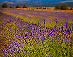 Lavender field near Mt. Shasta, Northern California