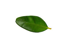 Buchsbaum, Buchs, Buxus sempervirens, common box, European box, boxwood, buis commun, buis toujours vert. Blatt, Blätter, leaf, leaves