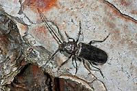 Dunkelbrauner Halsgrubenbock, Grubenhalsbock, Feldbock, Rollenschröter, Arhopalus rusticus, Criocephalus rusticus, rusty longhorn beetle, rust pine borer