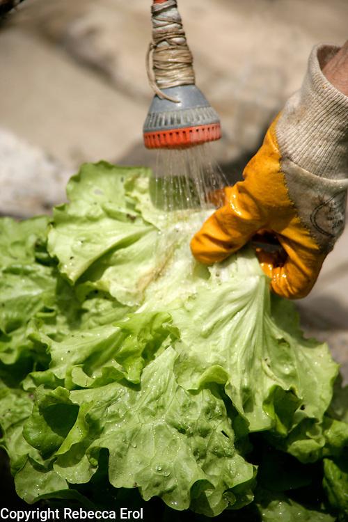 Washing a freshly harvested lettuce