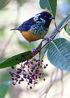 Spangle-cheeked tanager at berry tree
