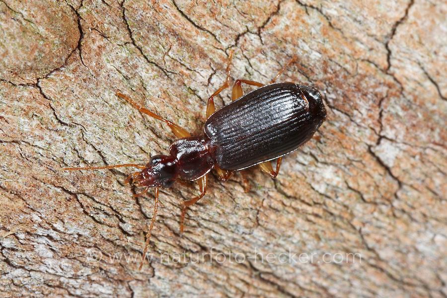 Dunkler Rindenläufer, Dunekler Rindenläufer, Lebhafter Rindenläufer, Dromius agilis, ground beetle
