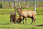 A bull elk bugles on the mountainside in Montana.