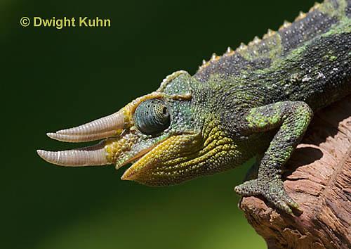 CH35-579z  Male Jackson's Chameleon or Three-horned Chameleon, close-up of face, eyes and three horns, Chamaeleo jacksonii