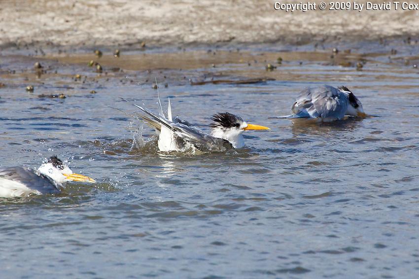 Crested Tern, Woody Head, BundjalungNP, NSW, Australia