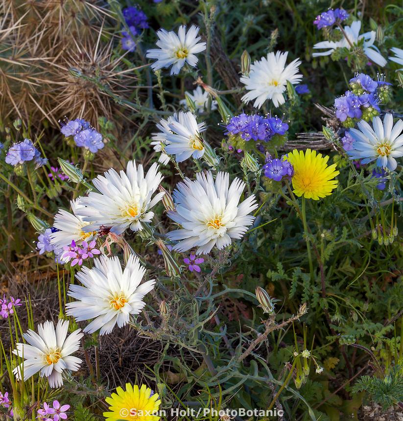 Rafinesquia neomexicana, Desert Chicory, flowering wildflower, California native plant Anza Borrego State Park, wildflowers, flowers