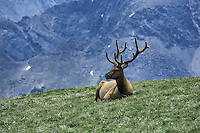 Elk resting on mountain top in Rock Mountain National Park, Colorado, USA