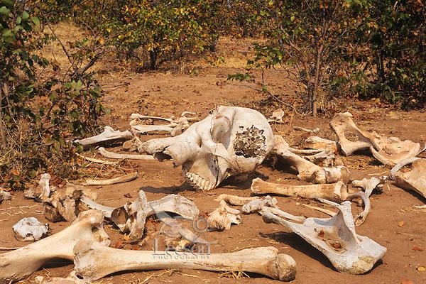 African elephant (Loxodonta africana) bones and skull.  Matusadona National Park, Zimbabwe.