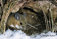 MU12-023z  Deer Mouse under a tree trunk with snow - Peromyscus maniculatus