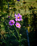 Cosmos Wildflowers. Image taken with a Fuji X-T3 camera and 200 mm f/2 OIS lens