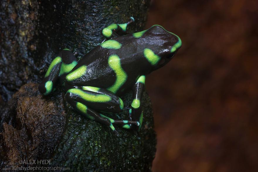 Green and Black Poison Frog {Dendrobates auratus}. Osa Peninsula, Costa Rica. May.