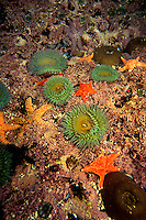 Giant green anemones, Anthopleura xanthogrammica, and Ochre stars, Pisaster ochraceus, in a tidepool. Monterey, California, Pacific Ocean