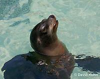 0406-1001  California Sea Lion Swimming, Zalophus californianus  © David Kuhn/Dwight Kuhn Photography.