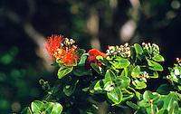 Apapane (Himatione sanguinea) taking nectar from Ohia lehua (Metrosideros polymorpha) flower, Kokee State Park.