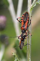 Rote Mordwanze, Zornige Raubwanze, mit erbeutetem Käfer, Beute, Mordwanze, Raubwanze, Rhynocoris iracundus, Rhinocoris iracundus, Rhynocoris iracundus, red assassin bug, prey, Reduviidae, Raubwanzen, assassin bugs, conenose bugs, Österreich, Kärnten