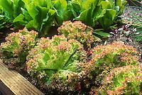 """Lettuce 'Lollo Rosso' (aka. Lolla Rossa"""")"""