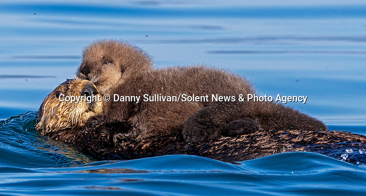 Pictured: A newborn otter pup is carried by its swimming mother on her front.   The pup is only a few hours old and is unable to swim - forcing its mother to hug it on her front.<br /> <br /> Sea otters learn to swim as young as four weeks old, and learn to dive at around six weeks.   Over 90 per cent of the world's sea otter population is located off the coast of Alaska, in the United States, where these photos were taken near Kodiak Island by amateur wildlife photographer Danny Sullivan.   SEE OUR COPY FOR DETAILS<br /> <br /> Please byline: Danny Sullivan/Solent News<br /> <br /> © Danny Sullivan/Solent News & Photo Agency<br /> UK +44 (0) 2380 458800