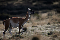 Guanaco (Lama Guanicoe) outlined in evening light makes its way up the hill as the sun sets.