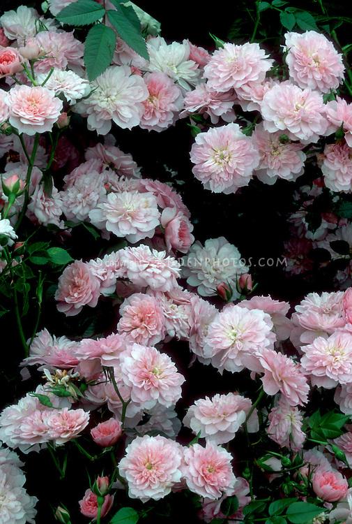 Rosa 'Pink Bells' ('Procumbent', 1980) pink flowers roses