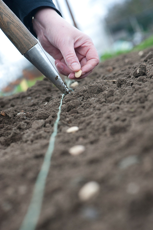 Sowing broad bean seeds. Sow outside in the autumn, overwintering the plants for a crop early the following summer, or sow in the spring, between February and April, for harvesting slightly later in the summer.