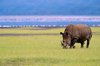 White Rhinoceros grazing near Lake Nakuru, Kenya.  Note:  the out-of-focus pink in the background is flamingos.