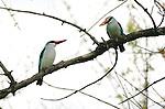 Woodland kingfisher (Halcyon senegalensis), Kwara Reserve, Okavango Delta, Botswana