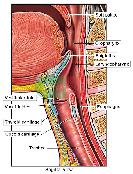 Anatomy of the Larynx, with Upper Respiratory Tract and Throat.