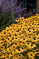 Rudbeckia hirta Black-eye Susan yellow flower in California garden