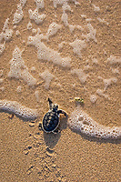 Australian flatback sea turtle hatchling, Natator depressus (c-r), endemic to Australian continental shelf, crawls down nesting beach and plunges into ocean, Torres Strait, Queensland, Australia