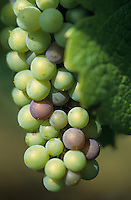 "Europe/Italie/Emilie-Romagne/Zola Predosa : Domaine viticole de ""Terre Rosse"" - Raisin"