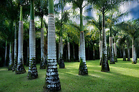Palm trees. Mahi Mahakonia mahogany plantation. From Wai Koa Loop Trail Kauai, Hawaii