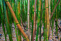 Detail of the large bamboo forest of the Pipiwai Trail, Haleakala National, Maui.